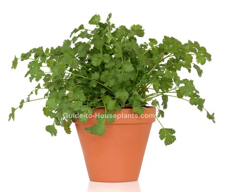 growing cilantro, how to grow cilantro, growing coriander, cilantro plant
