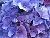 hydrangea care, growing hydrangeas
