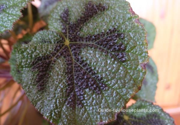 iron cross begonia