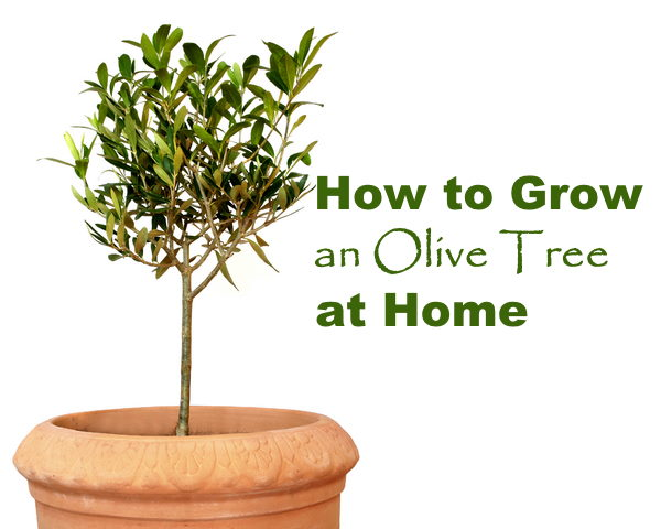 Growing Olive Trees Indoors Dwarf Olive Tree Care