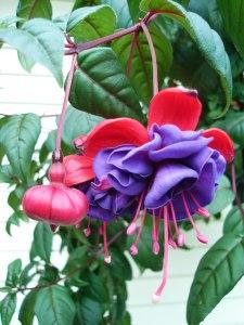 hanging basket plant, fuchsia