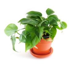 heartleaf philodendron, philodendron scandens, office plant