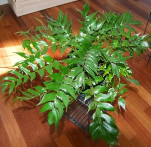 holly fern, fern house plant, japanese holly fern