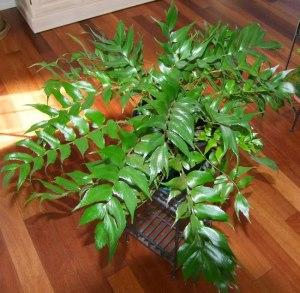 Japanese Holly Fern Care Tips Cyrtomium falcatum