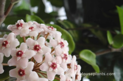 hoya plant, wax flower, fragrant houseplant