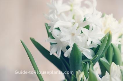 hyacinth flower, hyacinth bulb, hyacinth care, forcing hyacinths