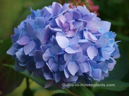 Hydrangea care guide for growing hydrangeas indoors - Care potted hydrangea ...