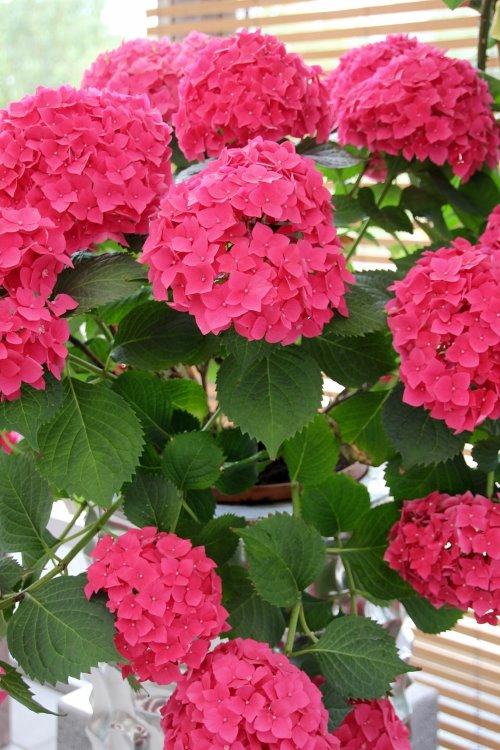 hydrangea care, hydrangea houseplant, growing hydrangea indoors