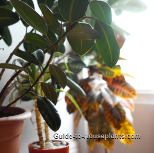 indoor trees, indoor ficus tree