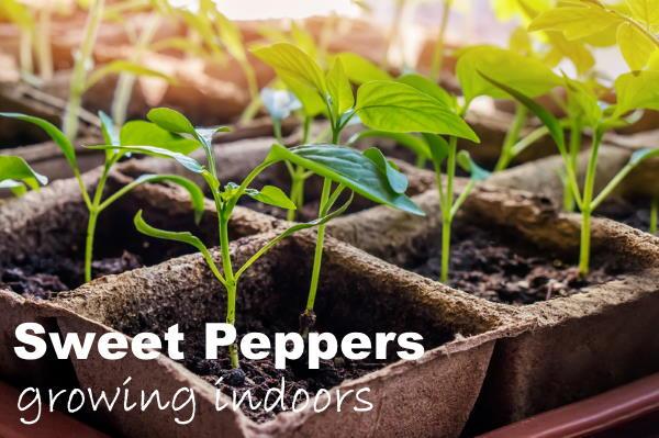 Indoor Vegetable Garden Tips Starting