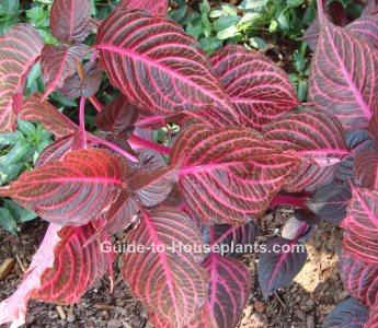 iresine herbstii, iresine, beefsteak plant, blood leaf plant