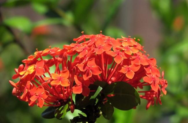 ixora coccinea, ixora flowers