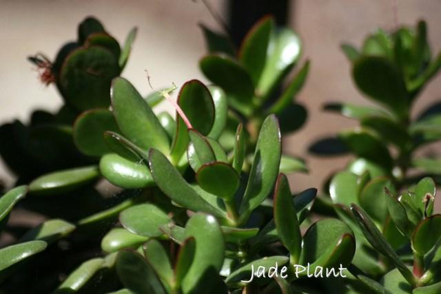 jade plant, succulent house plant, crassula ovata, jade plant care