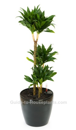 Janet Craig Dracaena House Plant Care For Dracaena