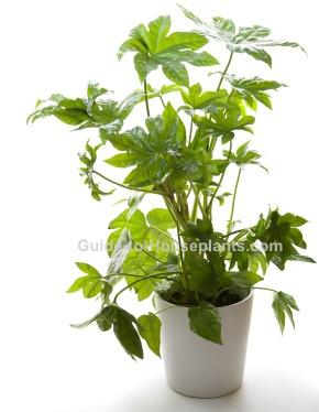 japanese aralia, fatsia japonica, large house plants