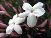 jasmine plant, chinese jasmine, jasmine houseplant