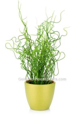 Juncus Effusus Spiralis Corkscrew Rush Plant