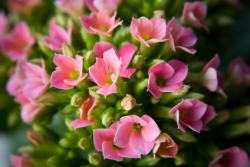 kalanchoe plant, flowering indoor plants, winter flowering plant