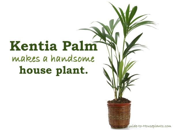 Kentia Palm Indoor Tree Houseplant
