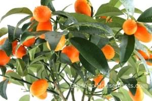 kumquat tree, nagami kumquat, indoor citrus tree