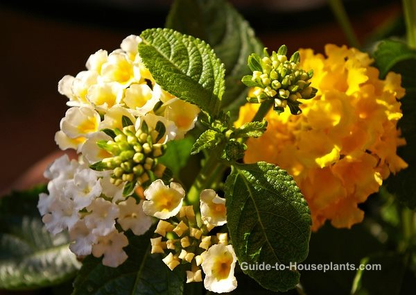 lantana camara, lantana flowers, growing lantana