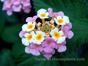 Growing Lantana Plants Indoors Care Tips And Pictures