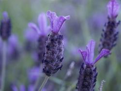 gardening lavender, spanish lavender