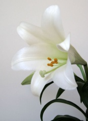 lilium longiflorum, easter lily care, types of lily flowers