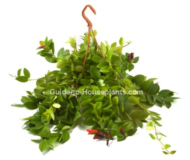 lipstick plant, Aeschynanthus lobbianus, care lipstick plant