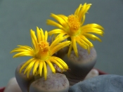 succulent care, growing succulents, lithops