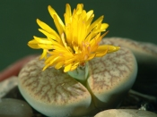 living stones, succulent care, growing succulents, lithops