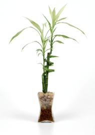 lucky bamboo, dracaena sanderiana, bamboo house plants, growing bamboo, bamboo care house plant, bamboo plants