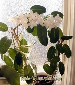 madagascar jasmine, hawaiian wedding plant
