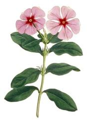 periwinkle flower, madagascar periwinkle