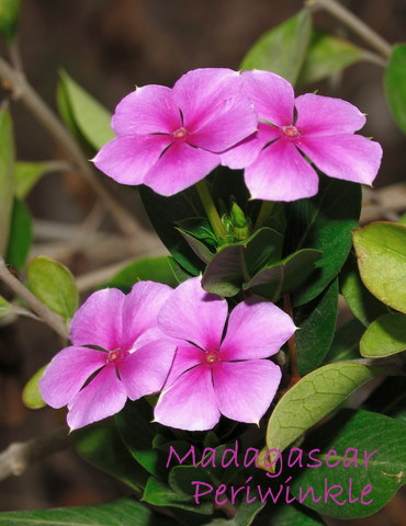 periwinkle flower, periwinkle plant, madagascar periwinkle