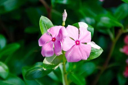 periwinkle flower, madagascar periwinkle, periwinkle plant
