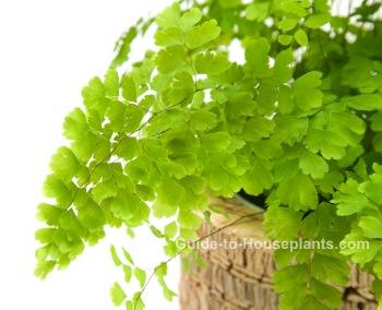 maidenhair fern, Adiantum raddianum, fern houseplant