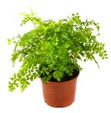maidenhair fern, adiantum raddianum, fern house plant