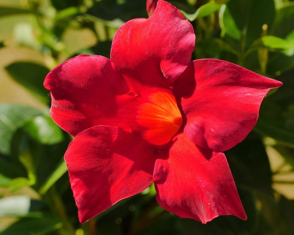 Mandevilla Plant Care Tips For Growing And Training Mandevilla Vine