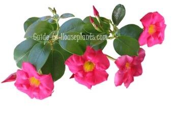 mandevilla plant, mandevilla vine, mandevilla flowers