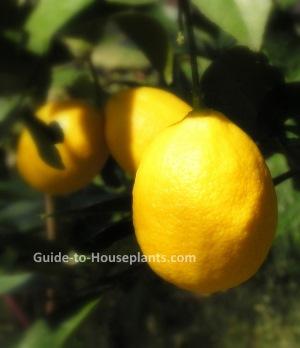 meyer lemon, growing fruit trees, dwarf fruit trees