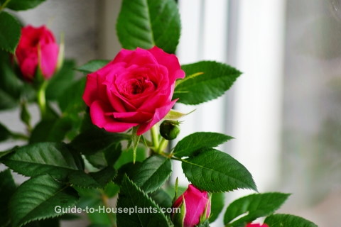 Guide For Growing Miniature Roses Indoors Miniature Rose Care