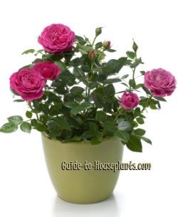 Growing Miniature Roses Indoors