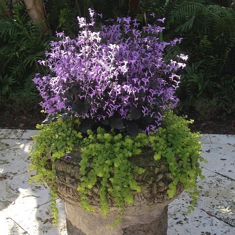 Plectranthus Mona Lavender Plant Care Pictures