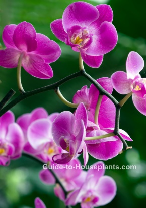 moth orchids, phalaenopsis, exotic orchids, growing orchids