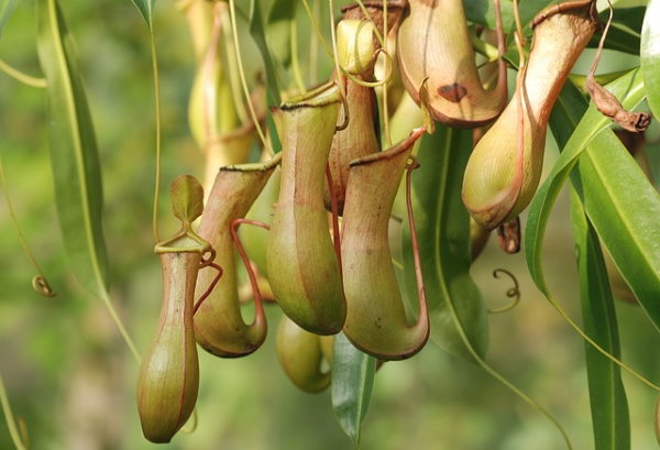 plante sarracénie, nepenthes