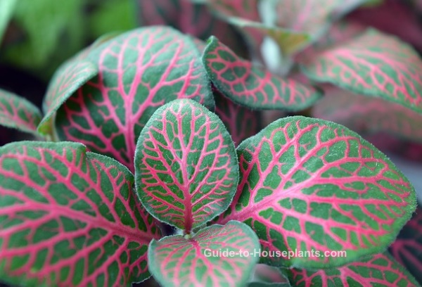Nerve Plant - onia verschaffeltii Pictures, Care Tips on red foliage flowers, red foliage bushes, red foliage grasses, red foliage annuals, red foliage hibiscus, common indoor houseplants, red foliage plants, red and green houseplants, red foliage perennials, red flowering houseplants, red foliage vines,