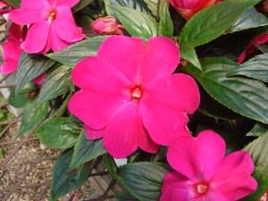 impatiens flowers, new guinea impatiens, growing impatiens, care for impatiens