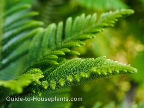 Norfolk Island Pine Tree Care Araucaria Heterophylla