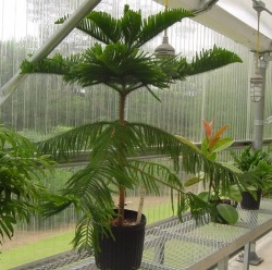 norfolk island pine, norfolk pine tree, norfolk island pines